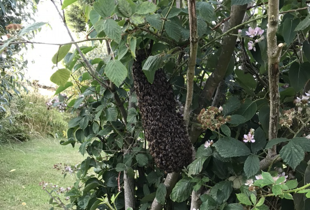 Honey Bee Swarm Rescue In Guilsborough