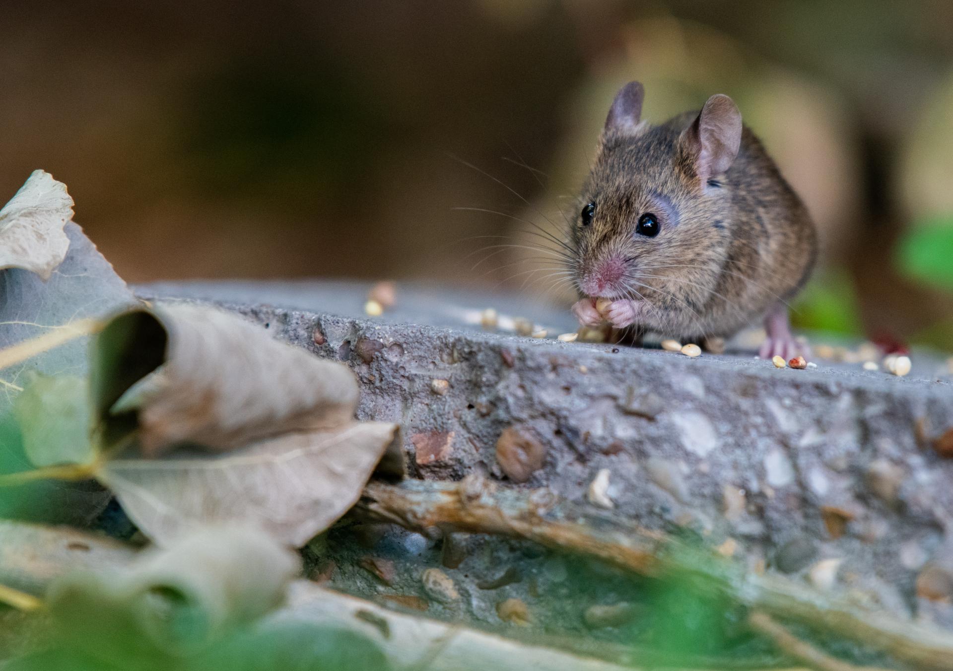 pest control mice