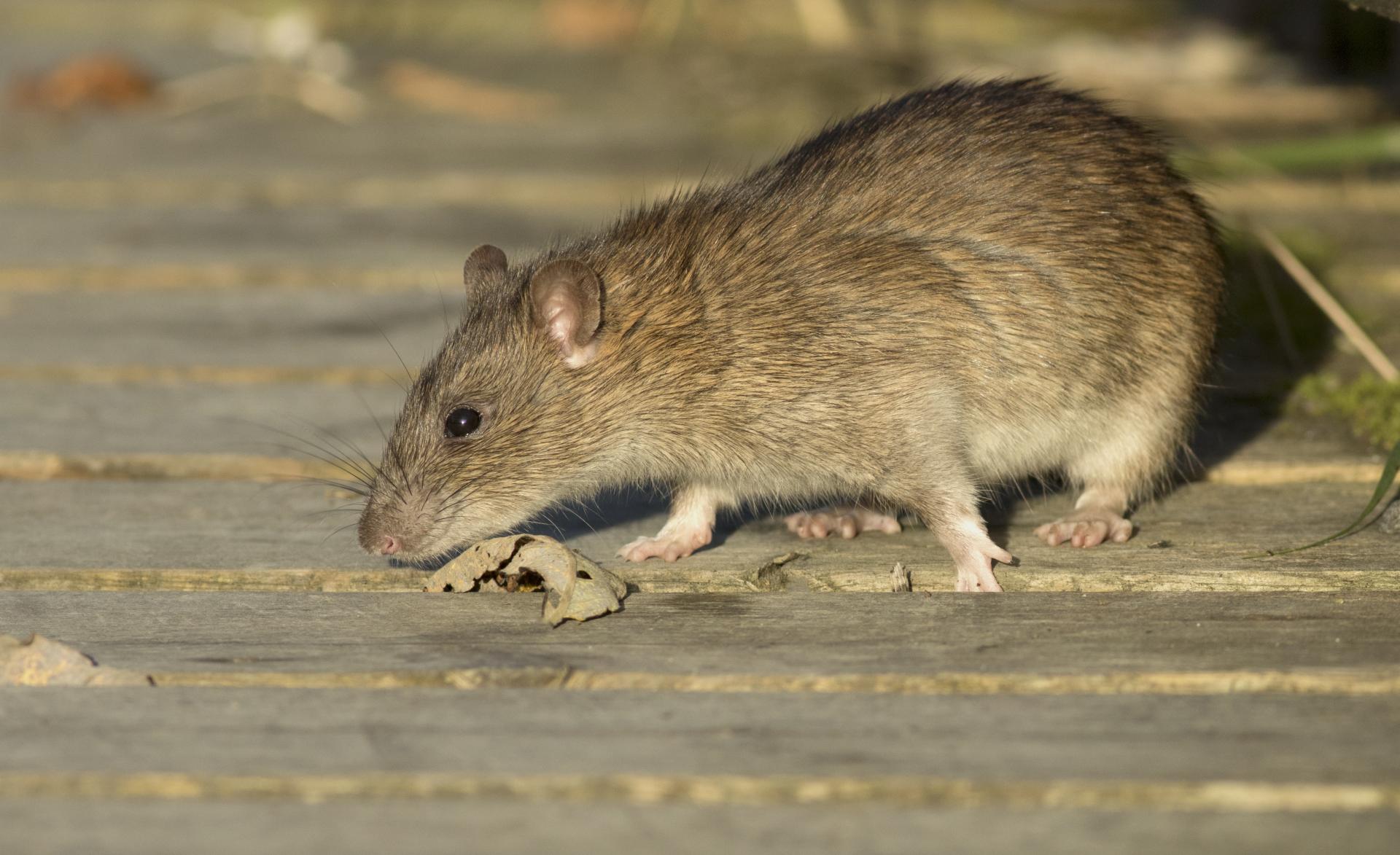 rat pest control services