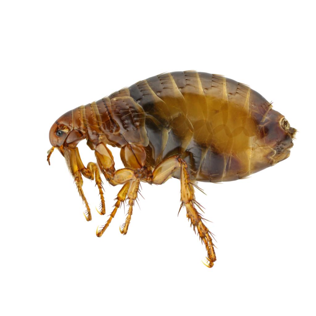 flea pest control thumb