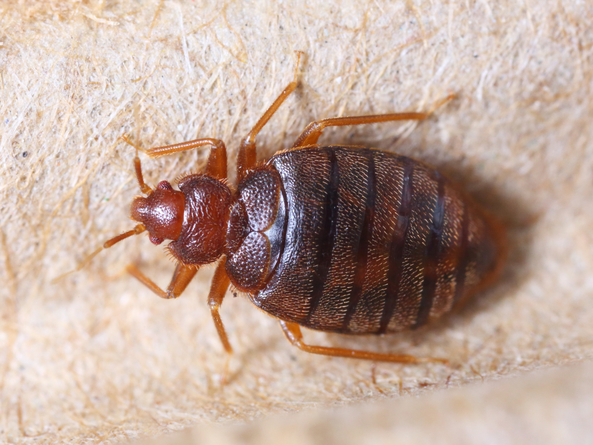 How to Spot Bedbugs